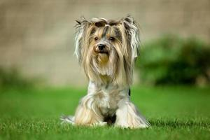Yorkshire terrier cheveux longs runnin on green meadow in park photo