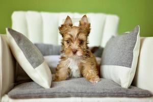 Un chien yorkshire terrier assis sur une chaise beige photo