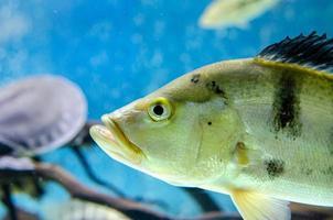 gros plan de poisson cichla photo