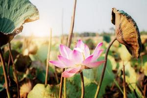 lotus avec la lumière du soleil