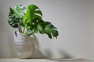 Plante monstera dans un pot de ciment sur un mur lumineux photo