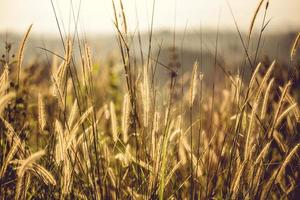 champ d'herbe brune photo