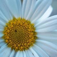 belle fleur de marguerite blanche au printemps