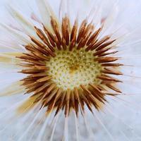 belle graine de fleur de pissenlit au printemps