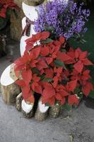 poinsettias de Noël et autres fleurs photo