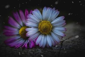 fleur de marguerite blanche et rose au printemps