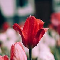 Fleurs de tulipe rose rouge dans le jardin au printemps photo