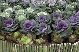 chou violet dans le jardin photo