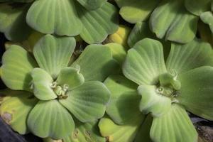 petites plantes succulentes vertes photo