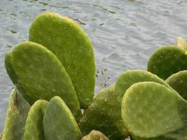 feuilles rondes de cactus photo