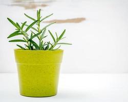 plante de romarin en pot