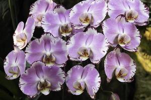 plante violette ornementale dans le jardin photo