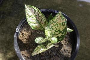 la fleur d'aglaonema modestum en fleurs