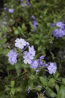 fleurs violettes dans le jardin photo
