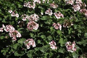fleurs de jardin rose photo
