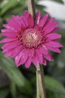 fleur rose dans le jardin photo