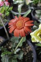 fleur rouge dans le jardin photo