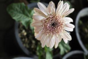 fleur rose clair dans le jardin photo