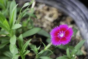 fleur rose dans un pot