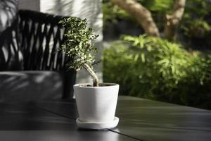 succulent dans un pot photo