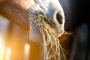 cheval mange de l'herbe photo