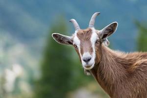 une chèvre nous regarde photo