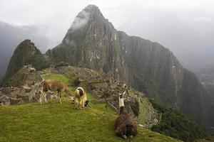 Lamas au machu picchu au pérou photo
