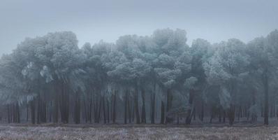 Une forêt de pins gelée un matin d'hiver en Castille
