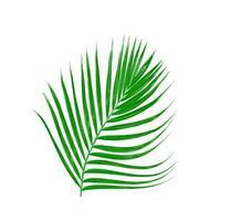 Feuilles vertes d'un palmier isolé sur fond blanc photo