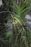 racines et feuilles d'orchidées photo