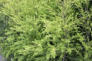 buisson vert dans le jardin
