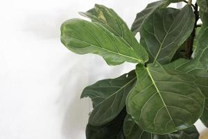 fiddle leaf fig close up