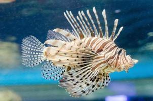 poisson-lion dans l'eau photo
