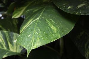 plante de feuilles vertes avec des gouttes d'eau photo