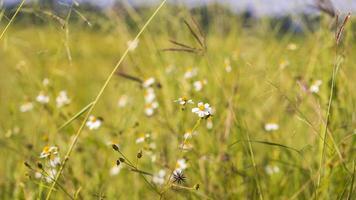 Gros plan d'herbe sauvage avec fond de champ jaune récolte