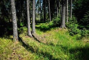 lisière d'une forêt d'épinettes photo