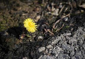 fleur jaune dans la saleté photo