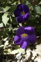 belles violettes violettes photo