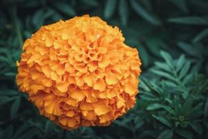 Fleur de souci africain dans un jardin photo