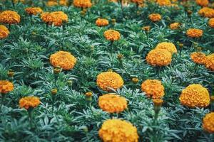 Fleurs et bourgeons de souci africain dans un jardin photo
