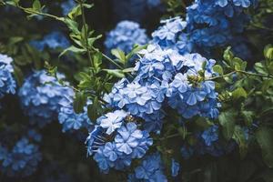 Fleurs bleues de Cape Leadwort également connu sous le nom de plumbago bleu photo