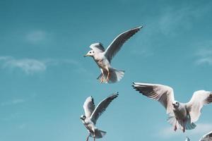 Petits spécimens de mouette rieuse volant dans le port photo