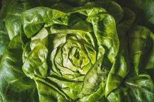 feuilles vertes et fraîches d'une laitue pommée bio