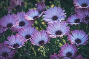 fleurs violettes et roses de marguerite africaine