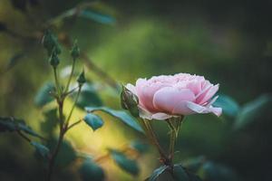 rose clair et bourgeons dans un jardin photo