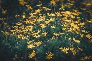 fleurs et bourgeons de marguerites jaunes