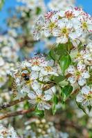 fleur d'amandier avec abeille photo