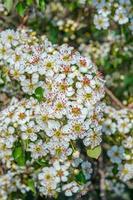 belle fleur d'amandier photo