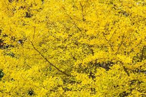 arbre de ginkgo jaune photo