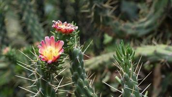 fleur de cactus en macro photo